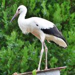 Hazatérhet Isztambulból Elek, a sérült dömösi gólya