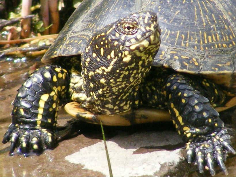 Mocsári teknősök
