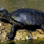 Mocsári teknősök költöztek a Visegrádi-hegységbe
